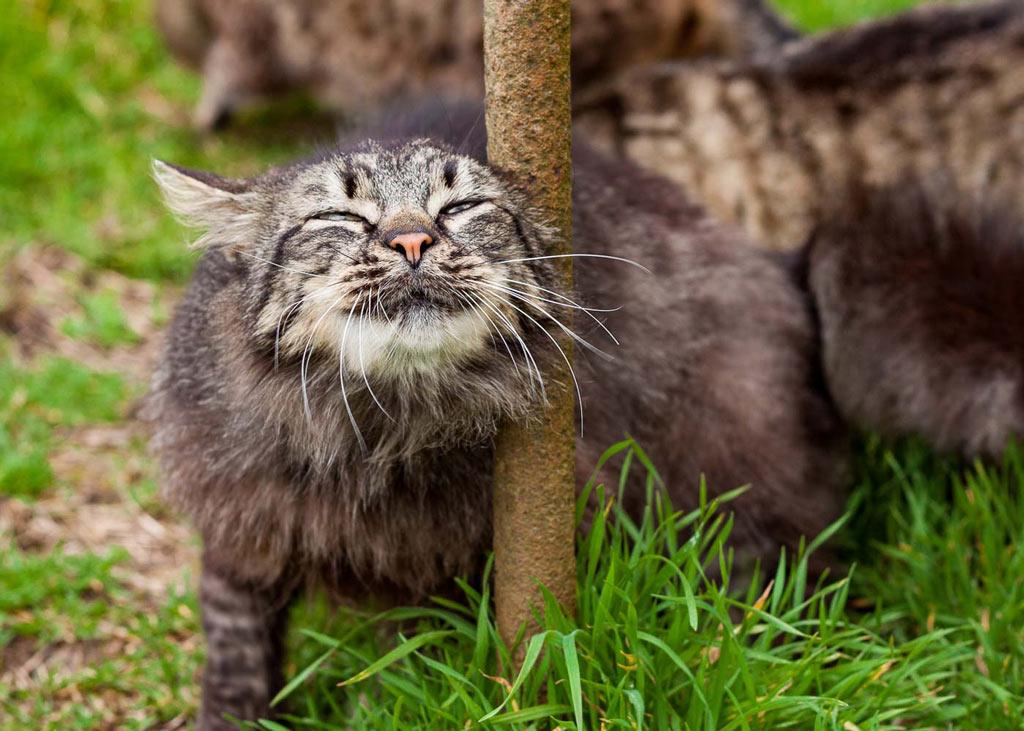 Ohrmilben jucken in den Ohren der Katze