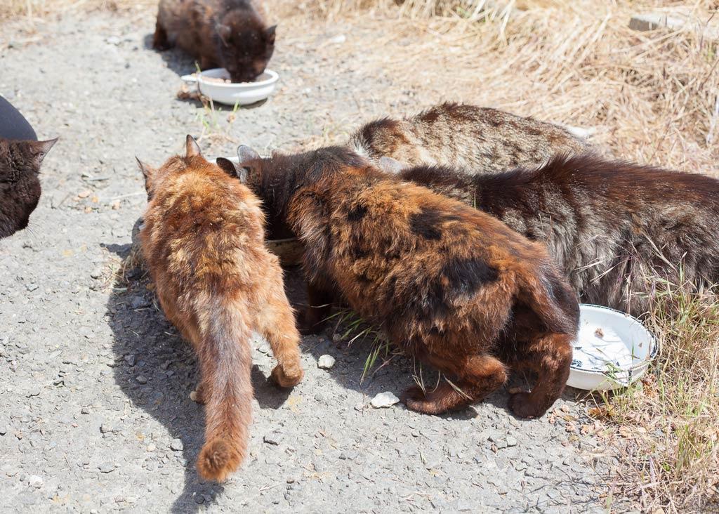 Unterernährte Katzen beim Fressen