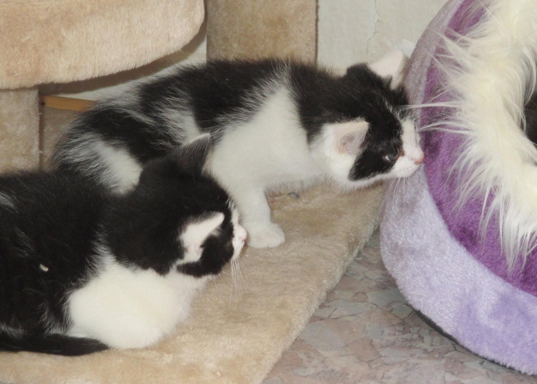 Kätzchen schwarz/weiß